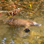 Platypus populations under threat